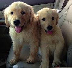 Going to our new homes!  Golden Retriever babies...