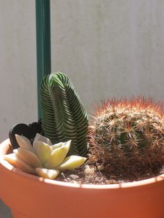 Cactus and suculents collection (cactaceae garden) - Crassula Budah's Temple; Mamillaria sp.