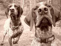 german shorthair  ..  well, we can't say that you smell like a rose, either!!