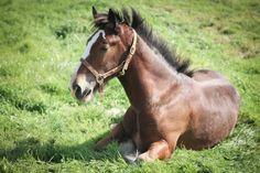 """Oscar"" - Shire horse foal"