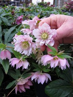 Hellebores in the greenhouses at Barry Glick's Sunshine Farm & Gardens