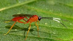Ichneumon Wasp from Ecuador: www.flickr.com/andreaskay/albums