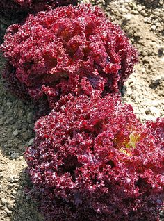 Lettuce Morello: This handsome lollo rosso lettuce forms tight frilly deep maroon heads that stand in good condition for some time. You can cut as heads or pick a few leaves as needed. Growing Lettuce, Vegetable Garden, Good Excuses, Get Outside, Horticulture, Green Leaves, Harvest