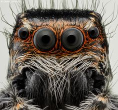 Jumper Eyes by Soheil Shahbazi on :-))) Most Beautiful Animals, Beautiful Creatures, Tardigrade, Jumping Spider, Macro And Micro, Black Widow Marvel, Monster Dolls, Animals Of The World, Bugs