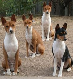 basenji want as my next dog <3