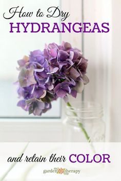 How to dry hydrangea flowers and retain their color.