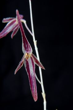 Pleurothallis stricta #orchid #orchidea #orquidea