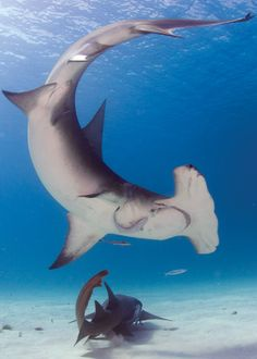 With BigFishExpeditio-Great Hammerhead Shark, Bimini Island. With BigFishExpedition… Great Hammerhead Shark, Bimini Island. Underwater Creatures, Underwater Life, Ocean Creatures, Shark Pictures, Shark Photos, Save The Sharks, Types Of Sharks, Shark Tattoos, Great White Shark