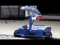 Distraction: Bird drives custom buggy