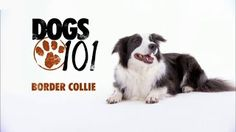 Would you jump at the chance to extend the life of your beloved dog? To discover how, go to http://lovedogs.from.media/go  DOGS 101 - Border Collie