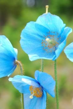 What a beautiful shade! A Light turquoise... lovely poppies!