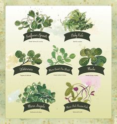 April illustration for Kimberton Whole Foods. Watercolor and ink by Cynthia Oswald. Sunflower Sprouts, Mache, Baby Kale, Micro Arugula, Micro Red Russian Kale, Watercress, Sweet Pea Shoots