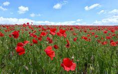 Poppy Red | Flickr