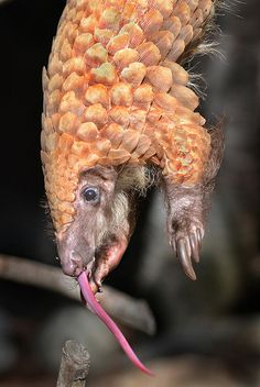 """Danglin' pangolin by Stinkersmell on Flickr. """"Baba, a pangolin, shows off its snake-like tongue at the San Diego Zoo. The animal, native to equatorial Africa and Asia, is on the endangered list."""""""