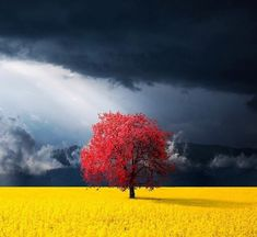 natur paysage This red tree in the canola meadow of Kosovo - Beautiful World, Beautiful Places, Beautiful Pictures, Wonderful Places, Beautiful Flowers, Landscape Photography, Nature Photography, Photography Jobs, Scenic Photography