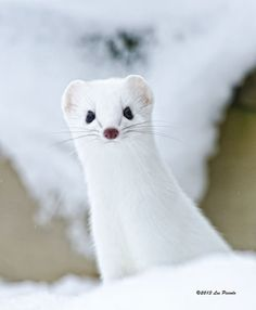 Ermine.  White in winter, but brown with black tipped tail the rest of the year...a weasel