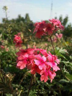 Flor rosa de la verbena