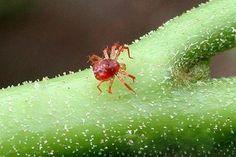семенова как избавиться от паразитов