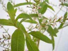 Lemon verbena is a fragrant medicinal herb that has mild antiseptic, anti-inflammatory, and expectorant properties. Lemon verbena is excellent for the digestive tract as it is known to be good for relieving nausea, cramps, bloating. Verbena, Burritos, Lemon Health Benefits, Kinds Of Fruits, Lemon Essential Oils, Medicinal Herbs, Herbal Medicine, Natural Healing, Gardens
