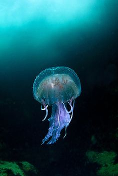 Jumping jellyfish.