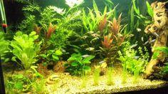 Vrij dicht beplant aquarium en op de voorgrond een open zwemruimte waar de schoolvissen gebruik van maken.