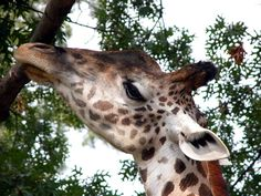 Giraffe @ Cincinnati Zoo (Cincinnati, OH) » 2003/08/28