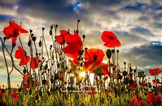 Poppies at sunset - Barham image x image. Options include mounted x 16 mount size) both white and black mounts available Flanders Field, Evening Sun, Modern Times, Funeral, My Images, Egyptian, Poppies, My Etsy Shop, Symbols