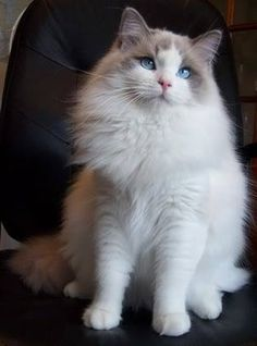 Lion Royale Ragdolls is Ragdoll Cat and Kitten Breeder in Ontario Canada. Offering beautiful Ragdolls kittens for sale including pointed and rare colors. Cute Cats And Kittens, I Love Cats, Cool Cats, Animals And Pets, Cute Animals, Owning A Cat, Kinds Of Cats, Beautiful Cats, Beautiful Pictures