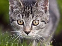 Disecription of the Eyes in Cats http://ift.tt/2CSiS0a