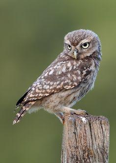 "500px / Photo ""Little Owlet"" by Karen Summers"