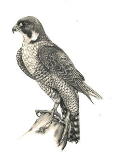 Peregrine pencil drawing by Kerry Jane