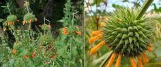 Viver a vida e o meio ambiente: Plantas Medicinais - Cordão de São Francisco