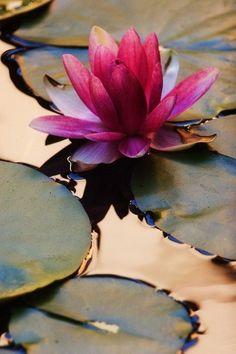 The Lotus Flower - inspirational