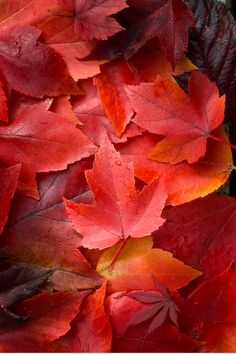 photo: maple leaves in red autumn colors.my favorite leaves! Autumn Day, Autumn Leaves, Maple Leaves, Red Leaves, Autumn Flowers, Autumn Colours, Seasons Of The Year, Fall Pictures, Belle Photo