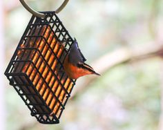 Red breasted nuthatch on the suet cage.