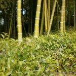 Bamboo and tea make a nice match at Naturalitea