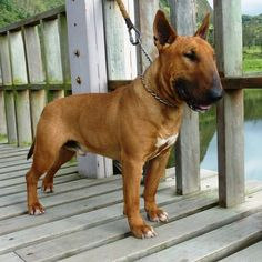handsome fawn smut bull terrier