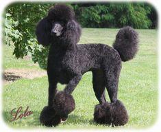 standard poodle cuts - Google Search