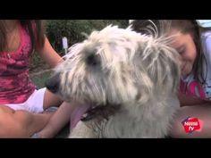 Cómo eliminar las pulgas y las garrapatas en perros - Mascotas Nestlé TV - YouTube