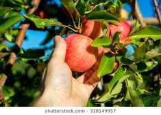 Picking Tasty Looking Gala Apple Stock Photo (Edit Now) 318149957 Fresh Apples, Fresh Fruit, Best Apples For Baking, Apple Picking Season, Apple Stock, Apple Varieties, New England Fall, Hot Apple Cider, Apple Orchard