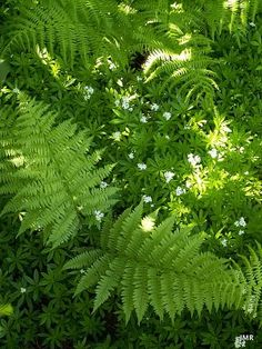 Sweet Woodruff and Lady Fern. I want this in my shady flower beds