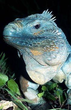 Blue Iguana - Pixdaus