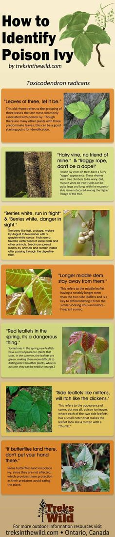 How To Identify Poison Ivy | Survival Skills, Tips & Tricks by Pioneer Settler at http://pioneersettler.com/identify-poison-ivy/