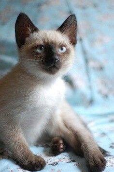 Pretty siamese kitten