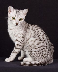 egyptian mau pictures - Google Search