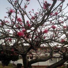 Shaving Brush Trees (English), Chak Kuyché (Maya), Amapola (Spanish), Bombax ellipticum Bombacaceae Kapok Family.