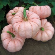 shut up! Pink Pumpkins...for real?!!....yep, they are a Hybrid called 'Porcelain Doll'