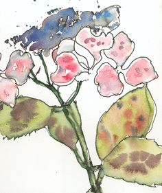 Hydrangea. Ink and watercolour.