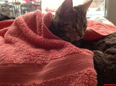My Cat Loves Being Tucked In Cozy And Warm too - http://cutecatshq.com/cats/my-cat-loves-being-tucked-in-cozy-and-warm-too/