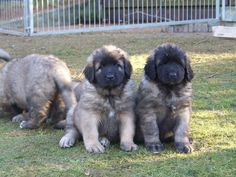 #leonberger puppies.  So squeezy!